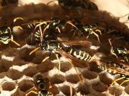 Uklanjanje pčela