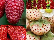Jagodičasto voće