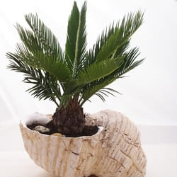 Saksijko cveće - Palma u unikatnoj keramičkoj školjki