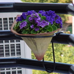 Saksijko cveće - Saintpaulia