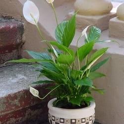 Saksijsko cveće - Spatiphilum