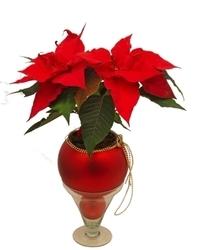 Novogodišnji aranžmani - Biljka Božićna zvezda
