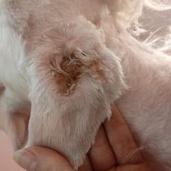 Higijena usiju kod pasa
