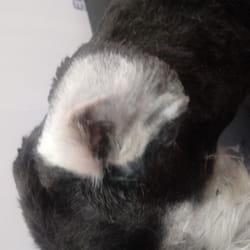 Ciscenje usiju kod pasa